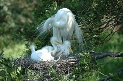 White Heron And Her Babies Royalty Free Stock Photos