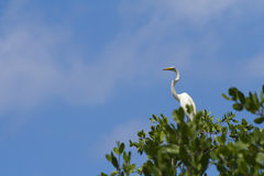 White Heron High in Tree. A white heron poised high in a mangrove tree set against a baby blue sky royalty free stock photo