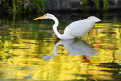 White Heron hunt in the water Royalty Free Stock Photography