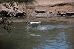White Heron. Hunting for the fish in Egypt Stock Images