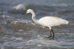 White heron hunting  fish in the sea Stock Image