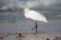 White heron hunting  fish in the sea Royalty Free Stock Photos