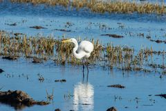 A white heron hunting on the lagoon. Adult white heron great egret on the hunt in natural park of Albufera, Valencia. Natural stock photo