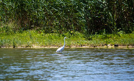 White Heron hunts in the vast pond amid the reeds Stock Photos