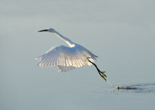 White heron jumping Royalty Free Stock Photos