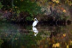 White heron Royalty Free Stock Photo