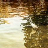 White heron in a lake Stock Photos