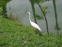 White heron on the lake shore Royalty Free Stock Photography