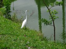 White heron on the lake shore stock images