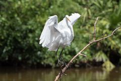 White heron landing. stock photography