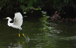 White Heron Lifting Off Stock Photos