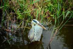 White Heron with a long beak. In the water on the river Stock Photography