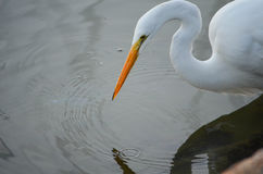 White Heron Looking For Dinner. White heron looking for its dinner in Palacios, Texas Royalty Free Stock Photo