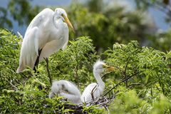 White heron and chicks. Stock Photos