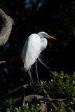 White heron looks right while standing in mangroves Stock Photo