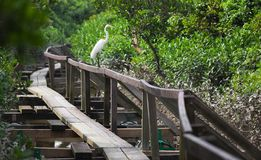 White Heron. Mai Po. Hong Kong. Royalty Free Stock Photography