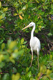 White Heron at the mangrove forest Stock Photos