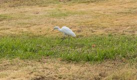 White heron in a meadow Royalty Free Stock Image