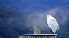 White Heron Milford Sound, New Zealand. The White Heron Kotuku or Ardea modesta in New Zealand is a very rare and sacred bird. In Maori oratory to see one of stock images