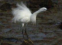 White heron Royalty Free Stock Images