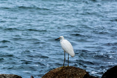 White heron near blue sea. WHite heron on rocks near the blue sea on a sunny day Stock Images