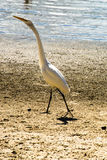 White heron near blue sea. WHite heron on rocks near the blue sea on a sunny day Royalty Free Stock Photography