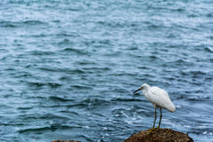 White heron near the sea. Lonely big white heron stood up on rocks near the blue sea Royalty Free Stock Photos
