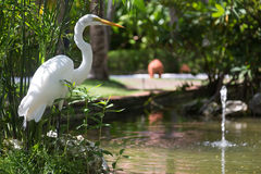 White heron near water, Dominican Republic Royalty Free Stock Image