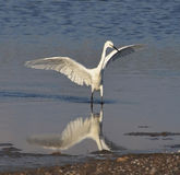 White heron opening wings Royalty Free Stock Photo