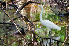 White heron in Panamanian swamp Royalty Free Stock Images