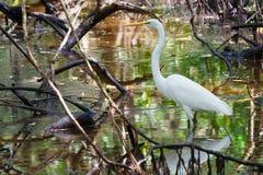 White heron in Panamanian swamp. White heron (Egretta alba modesta) in Panamanian swamp on Isla Galeta, Colon royalty free stock images
