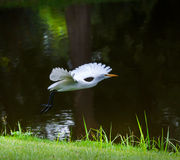 White Heron in Park Royalty Free Stock Image