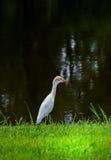 White Heron in Park Royalty Free Stock Photos
