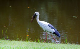 White Heron in Park Stock Image