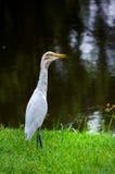 White Heron in Park Stock Photos