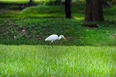 White Heron in Park Royalty Free Stock Image