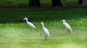 White Heron in Park Stock Photo