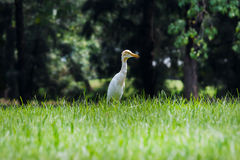 White Heron in Park Royalty Free Stock Photography