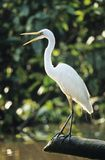 White Heron perched on log Stock Image