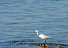 White Heron. A photograph of a white heron standing in the edge of the water Royalty Free Stock Images