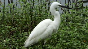 White heron in a pond Royalty Free Stock Photos