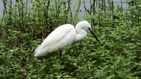 White heron in a pond Royalty Free Stock Photography