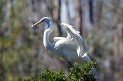 White Heron portait Royalty Free Stock Images