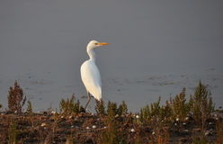 White heron portrait. White heron on the lake background Royalty Free Stock Photos