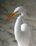 White heron portrait. A white heron standing on a marble floor Royalty Free Stock Photography