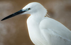 White Heron portrait. Huge Close up on white heron in Israel Royalty Free Stock Images