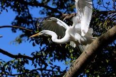 White heron profile Stock Photos