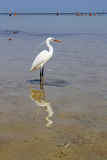White heron in Red Sea Royalty Free Stock Photo