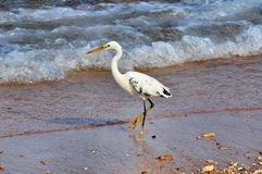 White heron in Red sea Stock Photography