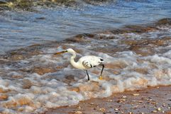 White heron in Red sea Stock Image